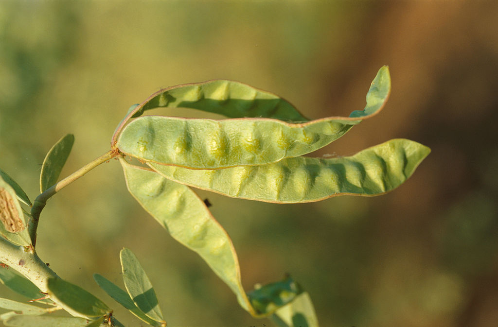 Acacia Pods For Abortion