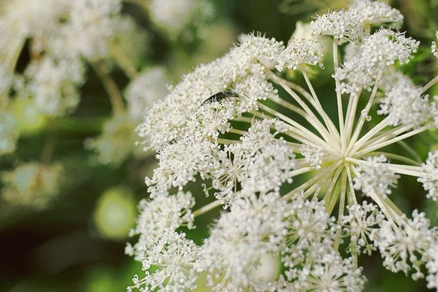 Angelica Herb : Boil in water and drink a cup 4 times a day