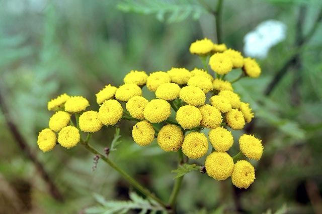 Abortion using Tansy