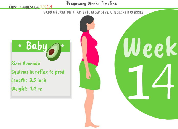 14 weeks pregnant: How Big Is The Baby At 14 Weeks